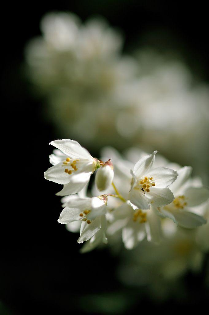 ヒメウツギ(姫空木) ユキノシタ科 学名 Deutzia gracilis 英名 Slender deutzia