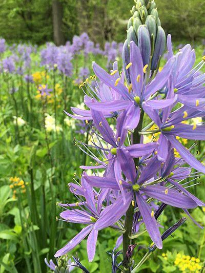 An impressive river of this spring-flowering bulb flows through Bell's Run each spring. #BotanicGardenGetaway
