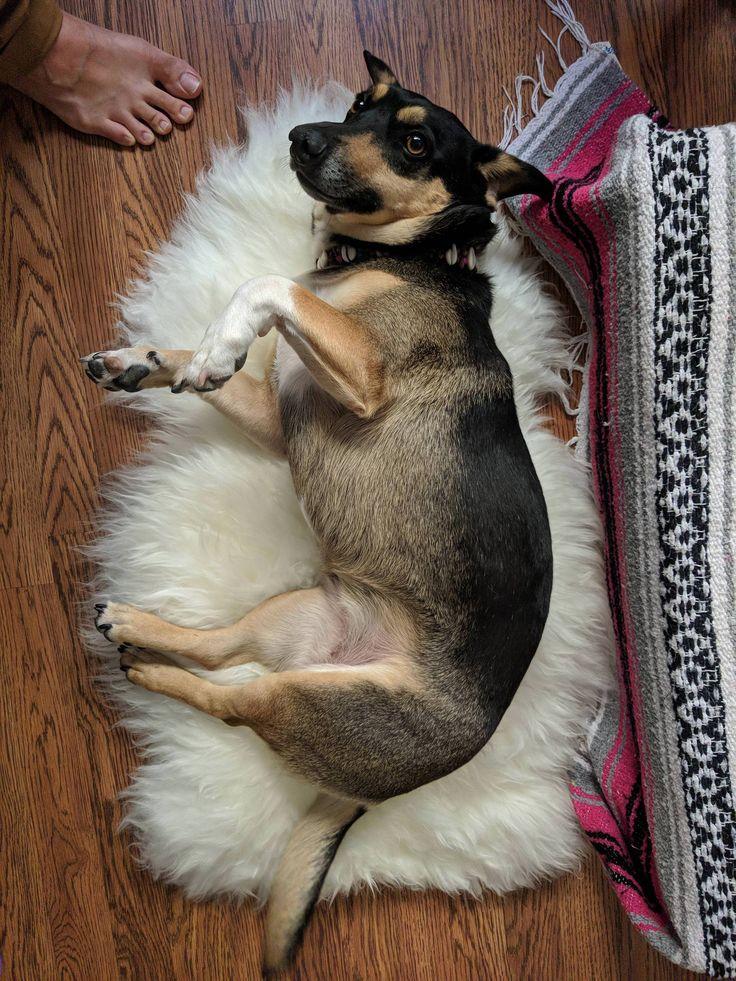 My Corgi-German Shepard loves her new sheepskin rug http://ift.tt/2FAptum