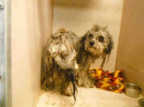 It will take hours to cut away his mats and bathe him. There are no reports on his disposition.If ever any dog needed to be rescued, pick this neglected shelter boy