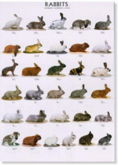 Large Rabbit Breeds   click for larger image
