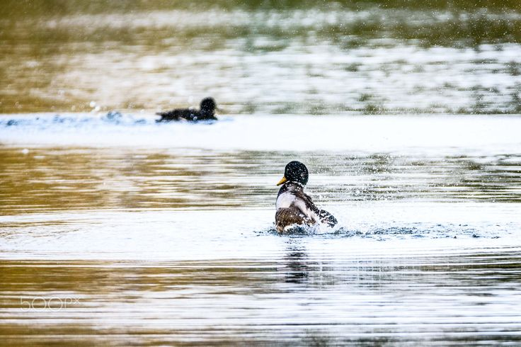 shake it off - a duck shaking all the water off his feathers.