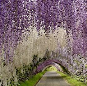 Kawachi Fuji Gardens, Japan.  arches of wisteria