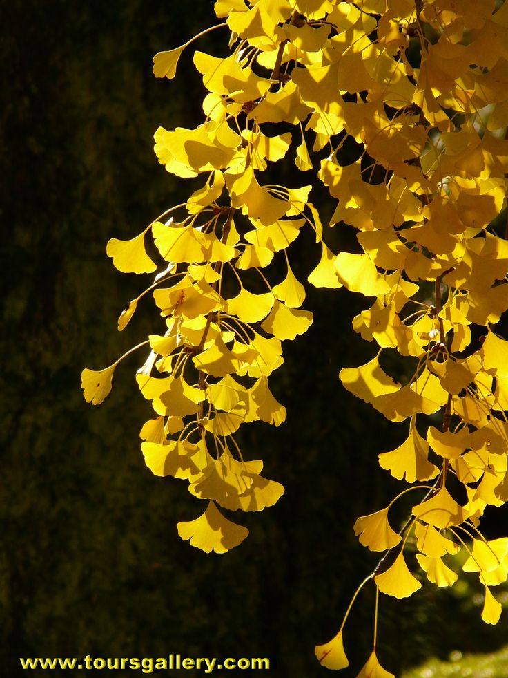 Gingko Biloba turns a bright golden colour in Mid November in Central Honshu. See the best Autumn colours in Japan with www.toursgallery.com