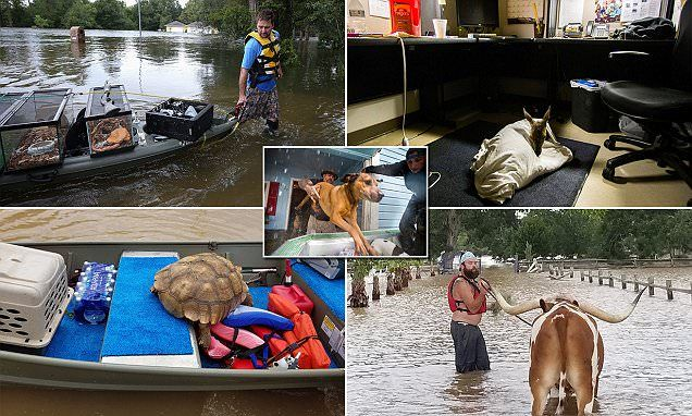 From dogs to pet snakes, a deer, an abandoned tortoise, a Texas Longhorn and a leopard gecko, it seems all creatures great and small are being saved from the atrocities of the Hurricane Harvey flood.