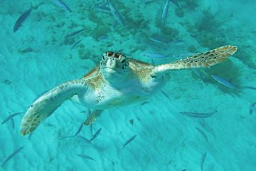 Experience the beauty of underwater Barbados on a Glass Bottom Boat, then swim & snorkel with sea turtles and tropical fish, before returning for a beach day at lovely Pirate's Cove!