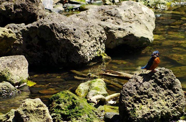 ☆共和AMELナイスショット!☆  多摩川の上流でバードウォッチング! この鳥の名は「カワセミ」。  写真は下のクチバシが赤いので メスの「カワセミ」です。 (オスのクチバシは上下が黒色)  まさに渓流の宝石と呼ばれるのに 相応しい美しい鳥です!!  <URL> http://www.kyowayakuhin.co.jp/