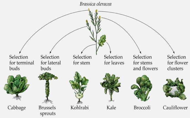 Image showing the transformation of wild cabbage by selective breeding into…