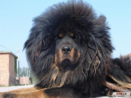 Citadel Tibetan Mastiffs :: Tibetan Mastiff Breeder