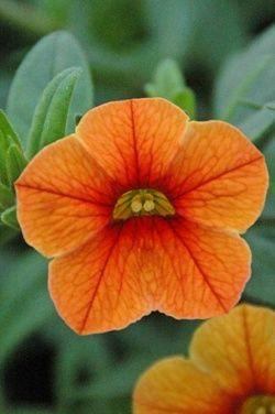 Calibrachoa 'Noa Orange Eye'