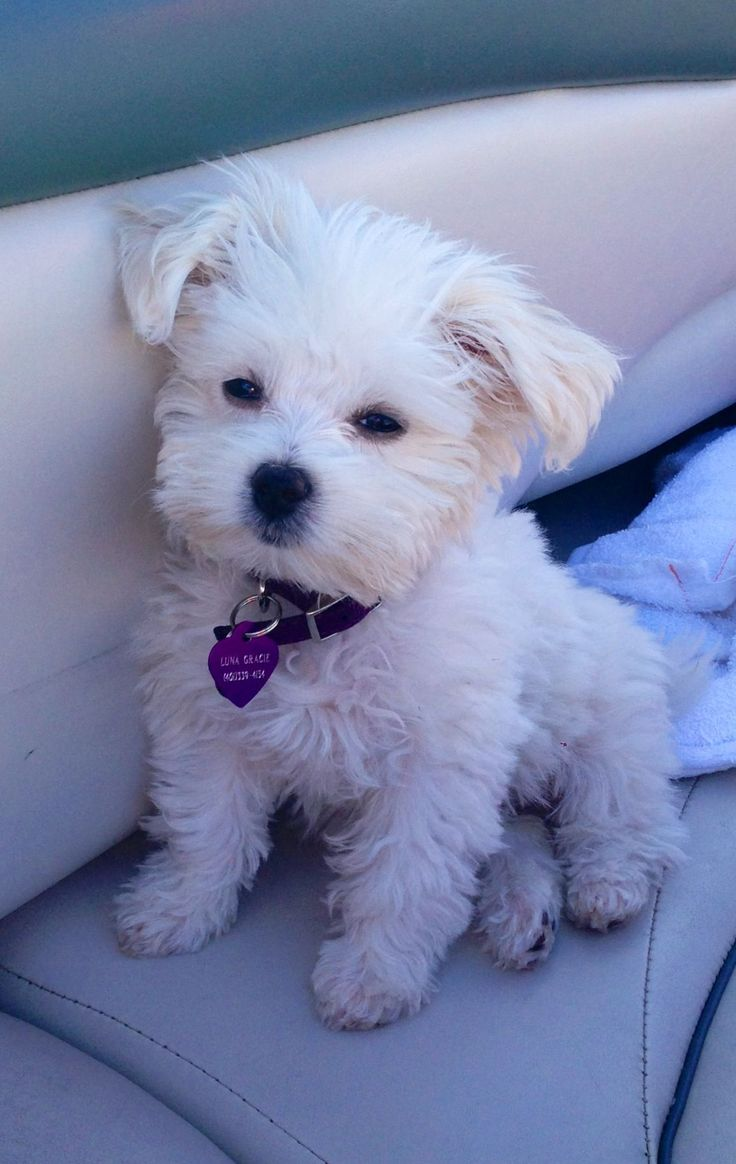 """Lunita"", Maltese puppy"
