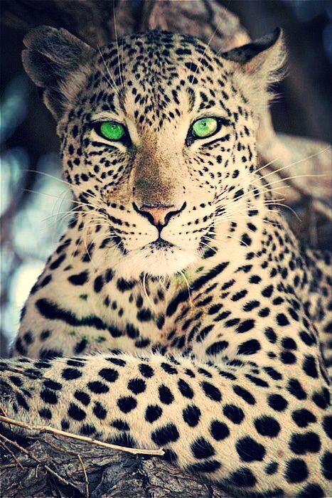 Leopard - look at those eyes :-)