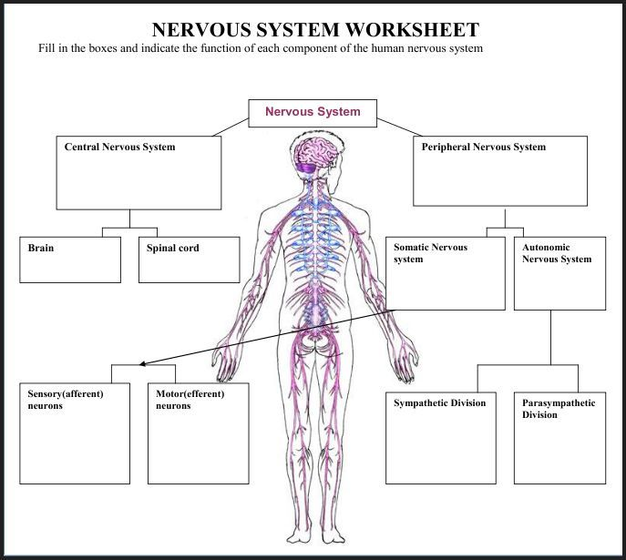 78 Best Science Human Anatomy Nervous System Images On Pinterest