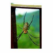 Spinnen Luft-atmen Gliederfüßer, die acht Beine und Chelicerae mit Reißzähnen haben, die Gift einspritzen. Sie sind der größte Auftrag der spinnenartiger Tiere und ordnen 7. im Gesamtarten-Diversity unter allen weiteren Aufträgen der Organismen.