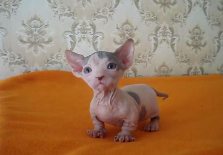 Bambino is a breed created as the result of a cross between the Munchkin & Sphynx breeds in 2006. The cat inherited its short legs from the Munchkin & hairlessness from the Sphynx. Bambino have pink or white skin, severely defined facial features, large eyes & large upright ears which make they seem rather mousy in appearance. They require regular bathing with mild soap & water due to not having any fur to absorb any natural oils... Ultimate Cat Breed List with Facts | CBWP