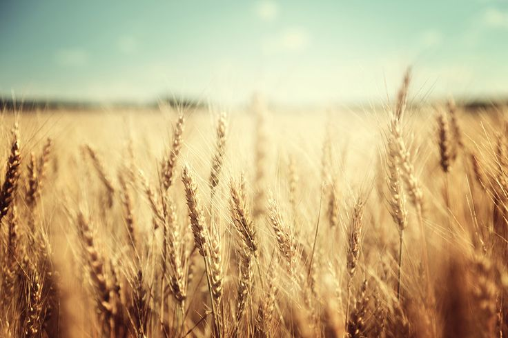 Wheat Prices Are Down. What Does That Mean For You? - http://modernfarmer.com/2015/06/wheat-prices-are-down-what-does-that-mean-for-you/?utm_source=PN&utm_medium=Pinterest&utm_campaign=SNAP%2Bfrom%2BModern+Farmer