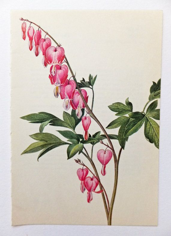 Bleeding Heart. Poppy Family. Vintage Flower Picture. Pink Flower. Botanical Print. Paper Goods, Housewares, Home Decor on Etsy, £4.00