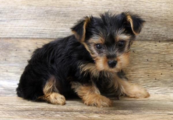 Puppies For Sale Petland Columbus Ga In 2020 Puppies For Sale