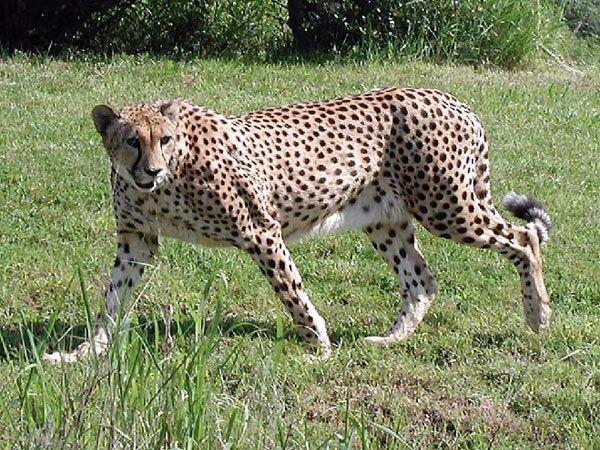 003-ghepardo.jpg (600×450)