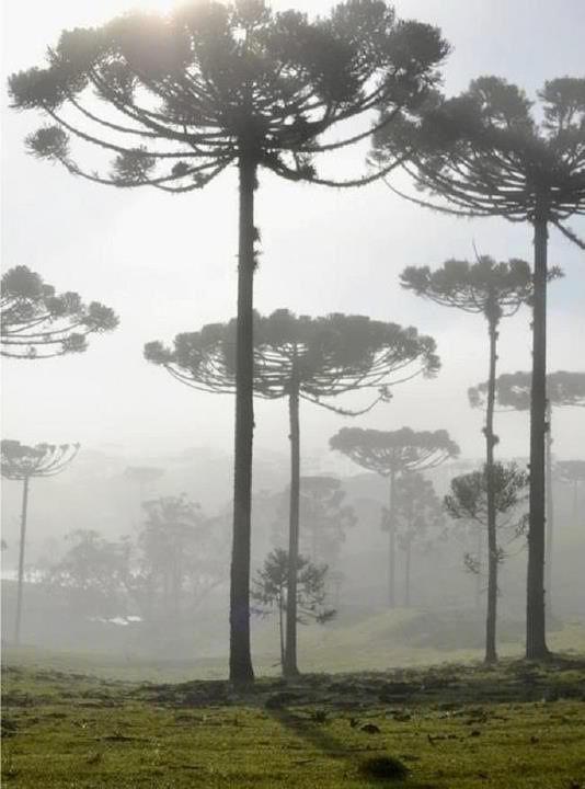 Araucária, árvore Nativa na Região Sul do Brasil ~ Foto tirada no Estado do Paraná.