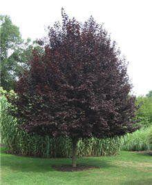 Newport Flowering Plum Tree for Sale | Fast Growing Trees