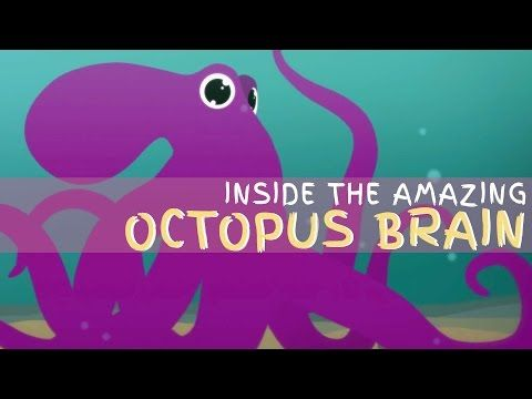 Why the octopus brain is so extraordinary - Cláudio L. Guerra - YouTube