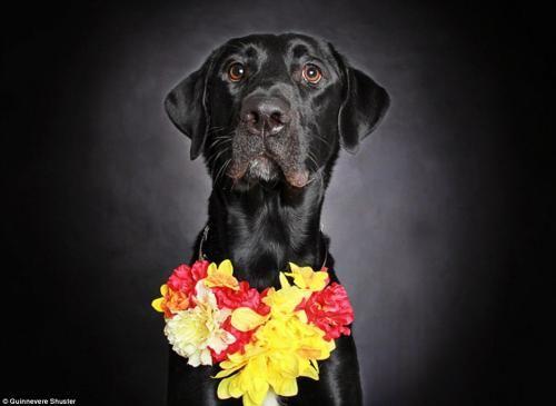 Fotógrafa cria projeto para acabar com o preconceito com cães de pelagem preta Guinnevere Shuster tirou fotos de oito cachorros de um abrigo dos Estados Unidos O cachorro Potato de 1 ano foi adotado. (Foto: Reprodução / Daily Mail UK)