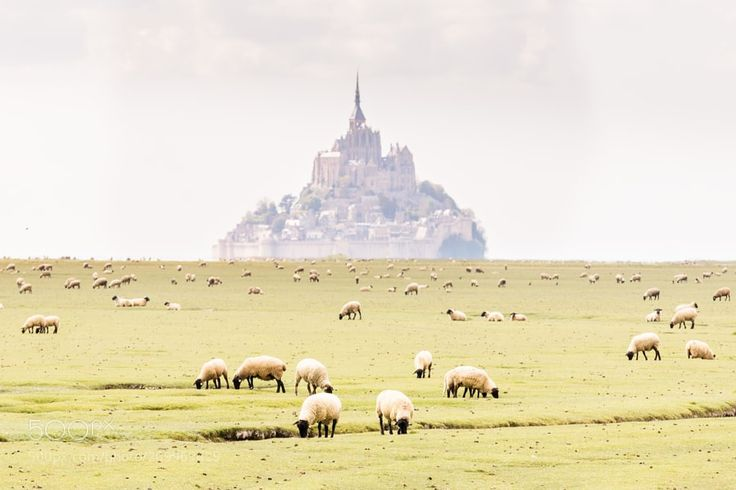 Mont Saint-Michel Bay and the sheep - My Instagram: @LOIC80L My Website - My Flickr - My Facebook - My Google - My 500px - My Pinterest