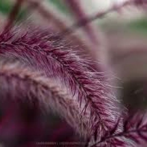 47 best grasses and ground covers images on pinterest grasses au flowers australia fountain grass burgundy flowers ornamental grasses garden design green plants marsala dwarf shrubs workwithnaturefo
