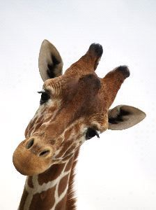 Rothschild Giraffe Calf | Giraffe Face Close-Up
