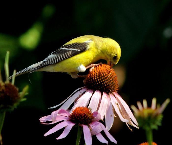 46 best images about cone flowers on pinterest gardens. Black Bedroom Furniture Sets. Home Design Ideas