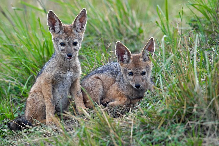 The black-backed jackal (Canis mesomelas), also known as the silver-backed or red jackal, is a species of jackal which inhabits two areas of the African continent separated by roughly 900 km.