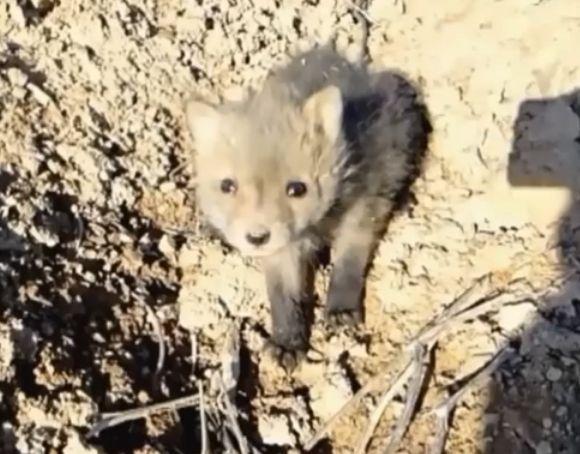 Этот раненый лисёнок был найден в лесу...