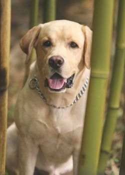 """Vincent was Walt's yellow Labrador Retriever, and the only non-human survivor of Oceanic Flight 815. Throughout his time on the Island, he had many owners, such as Walt, Shannon, and eventually Rose and Bernard. / Portrayed by Madison and Pono / First seen""""Pilot, Part 1"""" Last seen """"The End"""""""
