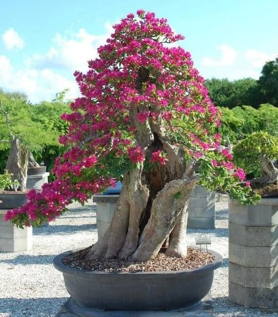 Bougainvillea at Wigert's Bonsai Nursery front view. Wigert's Bonsai Nursery is in North Ft. Myers, Florida.