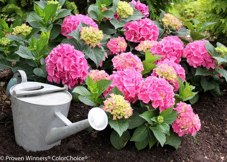 This beautiful flowering shrub can add color and abundance to your garden.