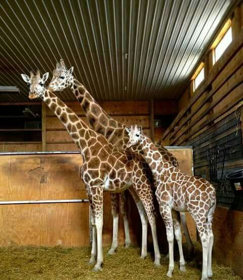 17 Best Images About Giraffe Love On Pinterest Zoos