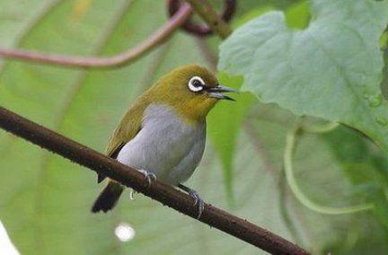 BudidayaBurung.XYZ – Download mp3 suara burung pleci gacor ngalas untuk masteran. Pleci merupakan tipe burung yang bersifat koloni, dimana lebih suka menyukai kehidupan yang berkelompok. Bermodalkan suara merdu, lantang dan sangat bervariasi menjadikan burung pleci termasuk dalam salah satu varian unggas kicau yang cukup banyak diminati.