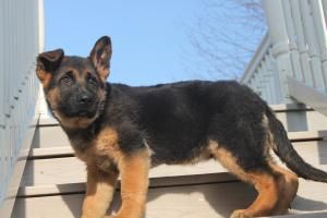 http://www.network34.com/dogsbreed/german-shepherd-puppies-for-sale-pa-md-ny-nj-dc/ German Shepherd Puppy For Sale In Honey Brook Pennsylvania