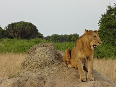 https://flic.kr/p/QccPAG | LION QUEEN | In ishasha where tree climbing lions are found is one of the destinations to take while on safari to thye wilderness
