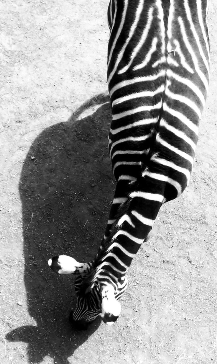 The lines! The composition! The overt minimalism!Nature Wildlife Animal, Favourite Things, Art, Black White, Angled, Animal Prints, Nature Skin Care, Minimal Black And White Stuff, Zebras