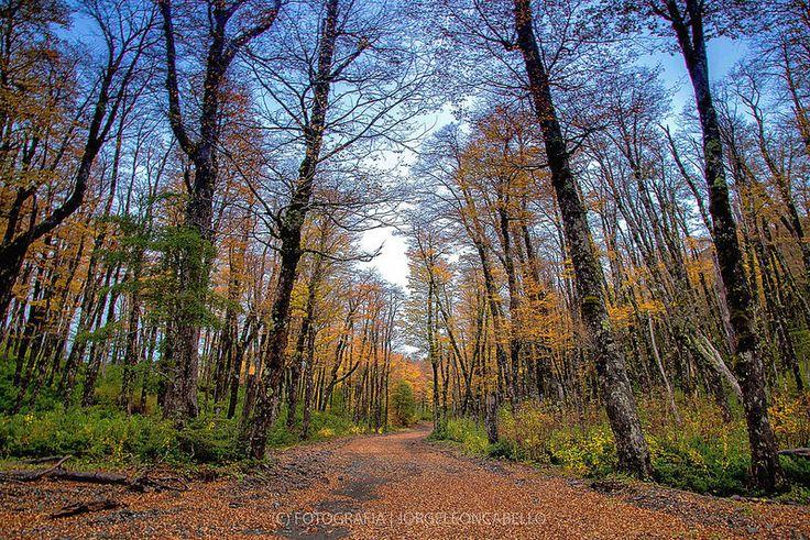 Lengas en otoño - P.Nac. Puyehue (Patagonia - Chile)