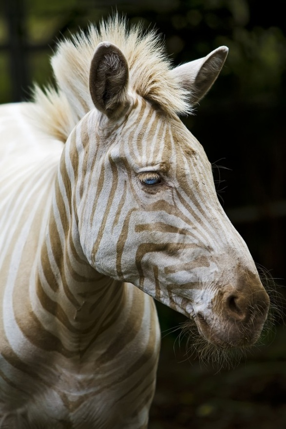 One of the only white Zebras in existence. She has blue eyes and gold stripes.