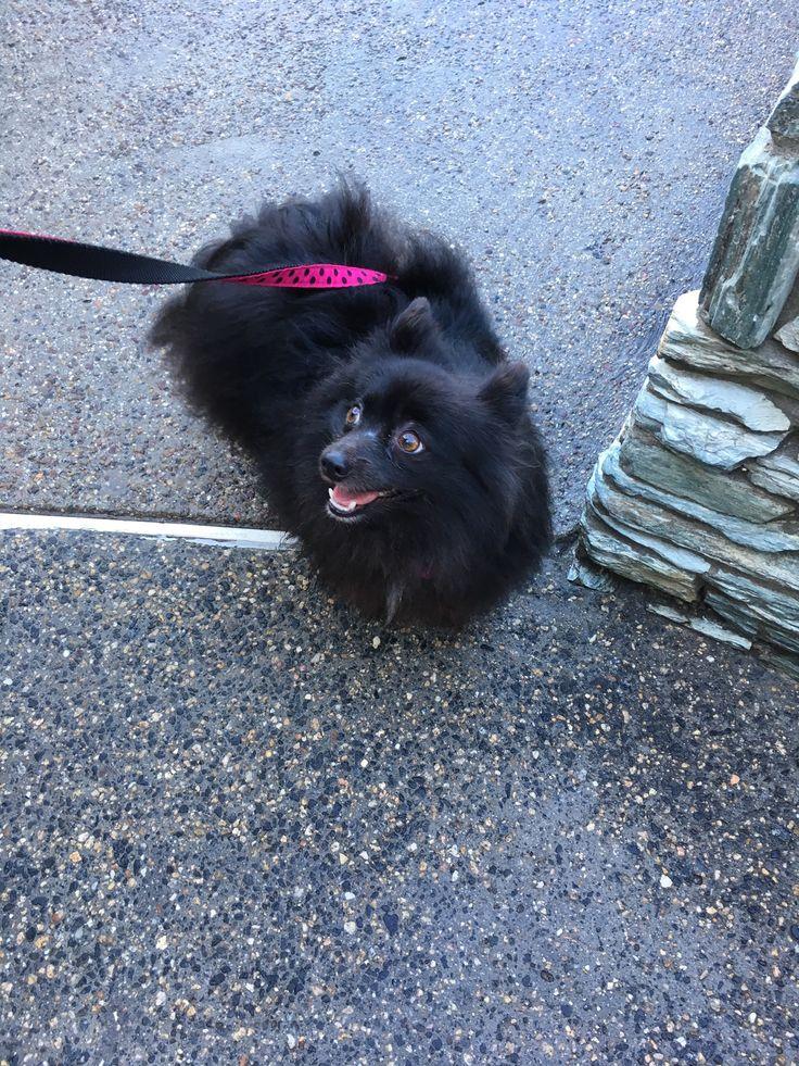 1000+ ideas about Black Pomeranian on Pinterest ...