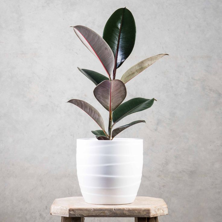 Ficus Black Knight - any child from the 70's would have had a rubber plant somewhere in their home. They are cool again!