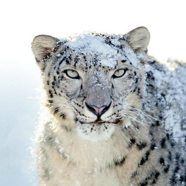 Snow Leperd