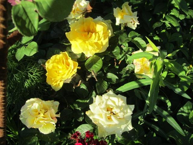 Rose inglesi antiche profumate