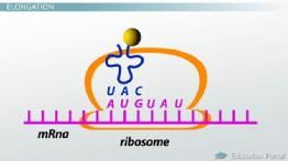 Bio 101: The Role of Ribosomes and Peptide Bonds in Genetic Translation - Video. Great for HS Seniors or College 101 !! - Tutor: April Koch Certified Biology Teacher, M.Ed in the NC Triad & Triangle: She is great!!! http://www.wyzant.com/tutorprofile/default.aspx?id=7995850