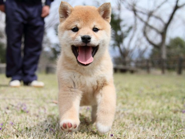 画像 : 【柴犬】かわいい柴犬画像まとめ, Shiba Inu puppy