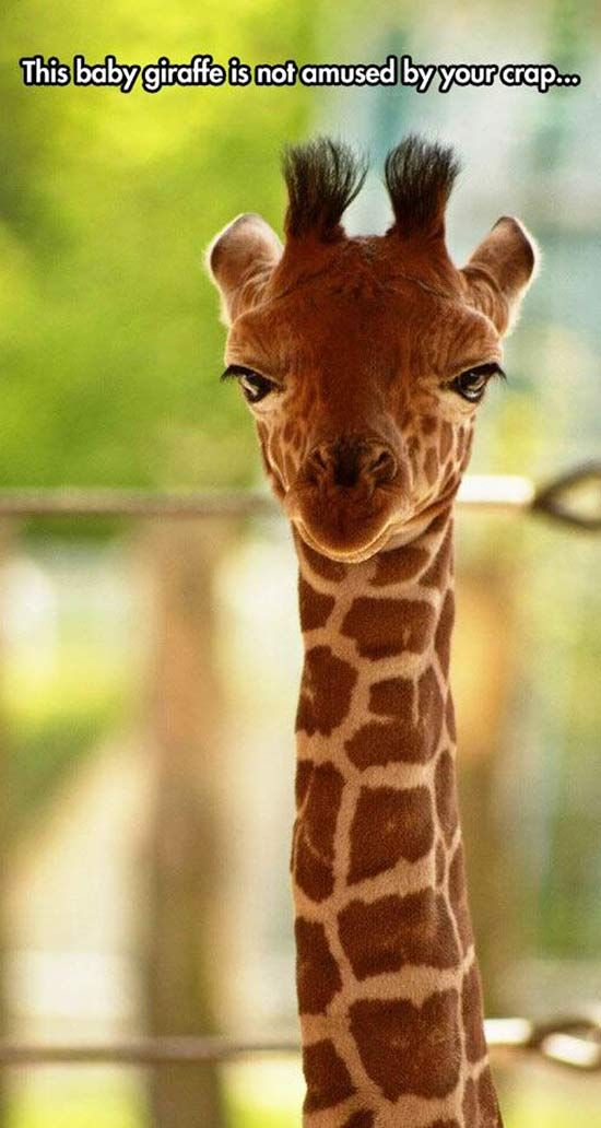 This baby giraffe is not amused by your crap.